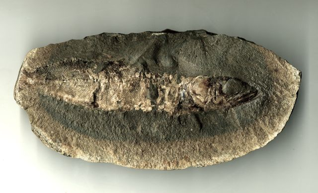 Fossil of a fish, found in Bahia, Brazil